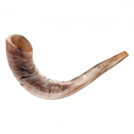 "Rare Huge Polished Ram's Horn Shofar 21""-24"""