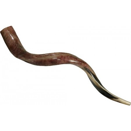 Polished Yemenite Shofars - Medium Sizes